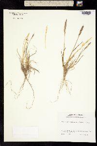 Image of Agropyron vernicosum
