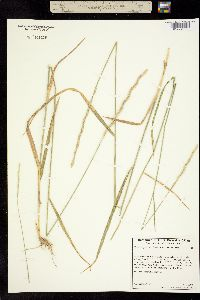 Image of Elymus hispidulus