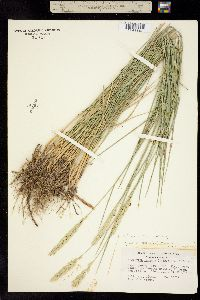Image of Elymus pungens