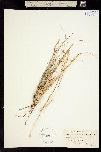Image of Andropogon adustus