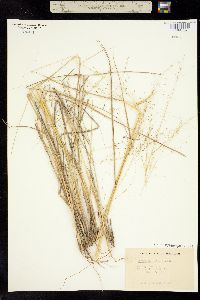 Image of Eragrostis palmeri