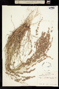 Image of Eragrostis secundiflora