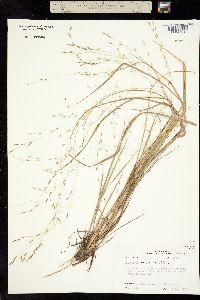 Image of Eragrostis refracta