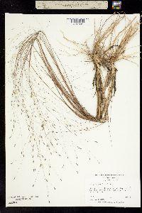 Image of Eragrostis elliottii