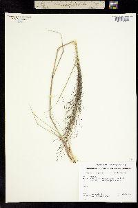 Image of Eragrostis guatemalensis