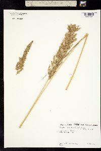 Eragrostis variabilis image