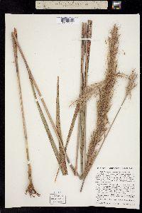 Image of Calamagrostis rubra