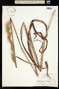 Image of Andropogon alopecuroides