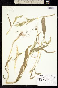 Eriochloa polystachya image
