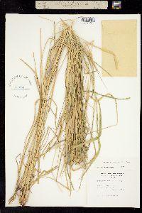 Image of Eriochloa punctata
