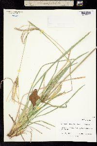 Image of Agrostis complanata