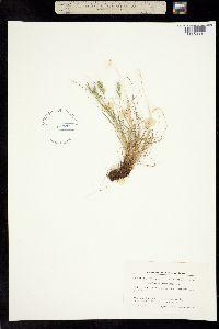 Festuca baffinensis image