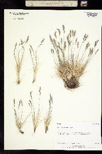 Image of Festuca lenensis