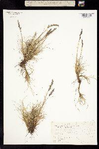 Image of Festuca hephaestophila