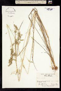 Image of Festuca paradoxa
