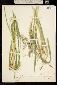 Image of Glyceria melicaria