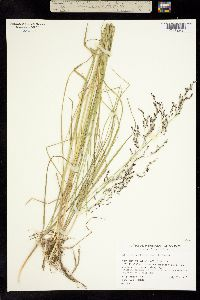 Image of Glyceria pulchella