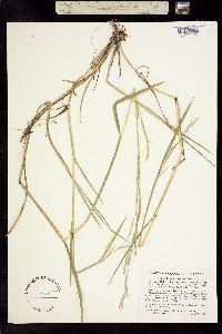 Image of Glyceria acutiflora