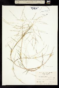 Image of Gymnopogon brevifolius