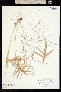 Image of Agrostis boeckeleri