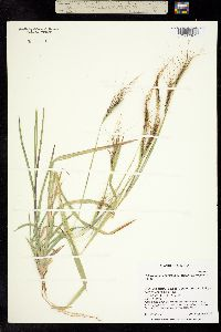 Image of Andropogon besukiensis