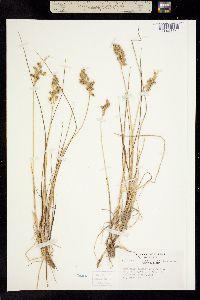 Anthoxanthum monticola subsp. alpinum image
