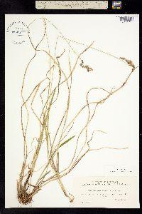 Hierochloe australis image