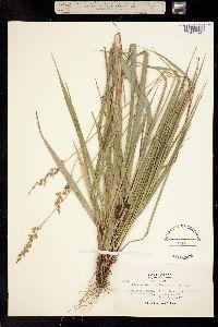 Hierochloe occidentalis image