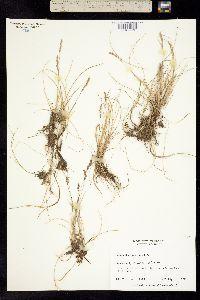 Hierochloe pauciflora image