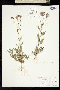Palafoxia texana image