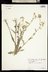 Image of Parthenium hysterophorus