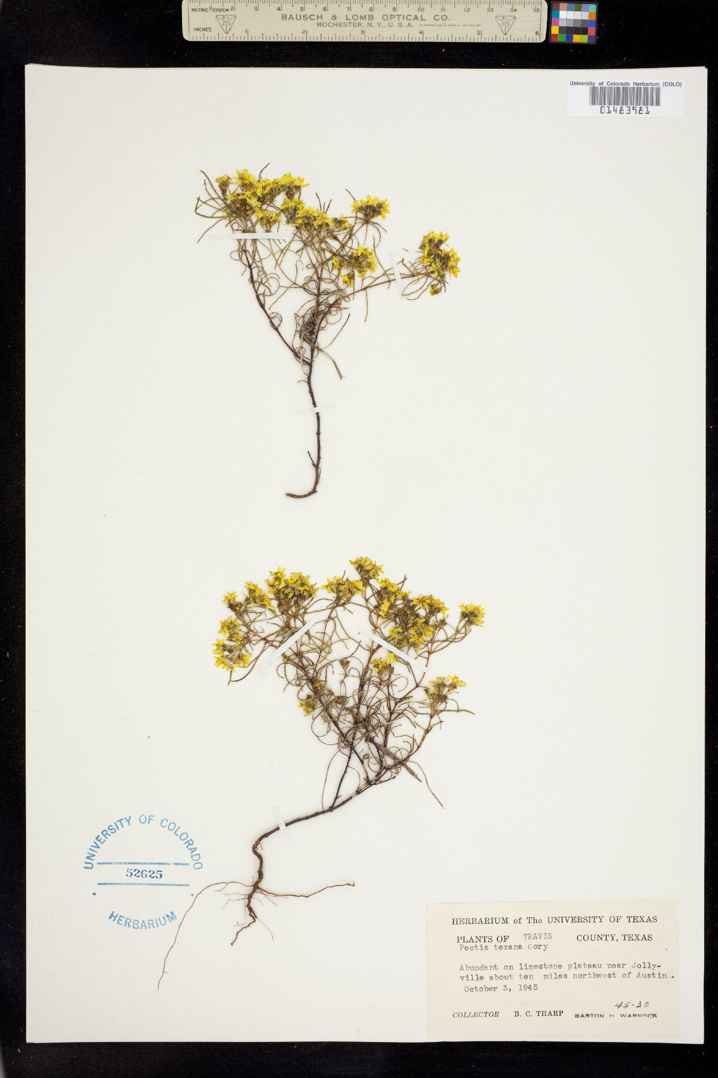 Pectis angustifolia var. fastigiata image