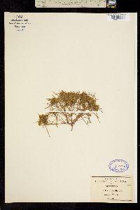 Pectis angustifolia var. tenella image