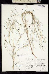Image of Pectis imberbis
