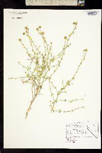 Image of Perityle megalocephala