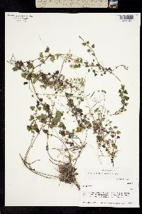 Perityle microcephala image