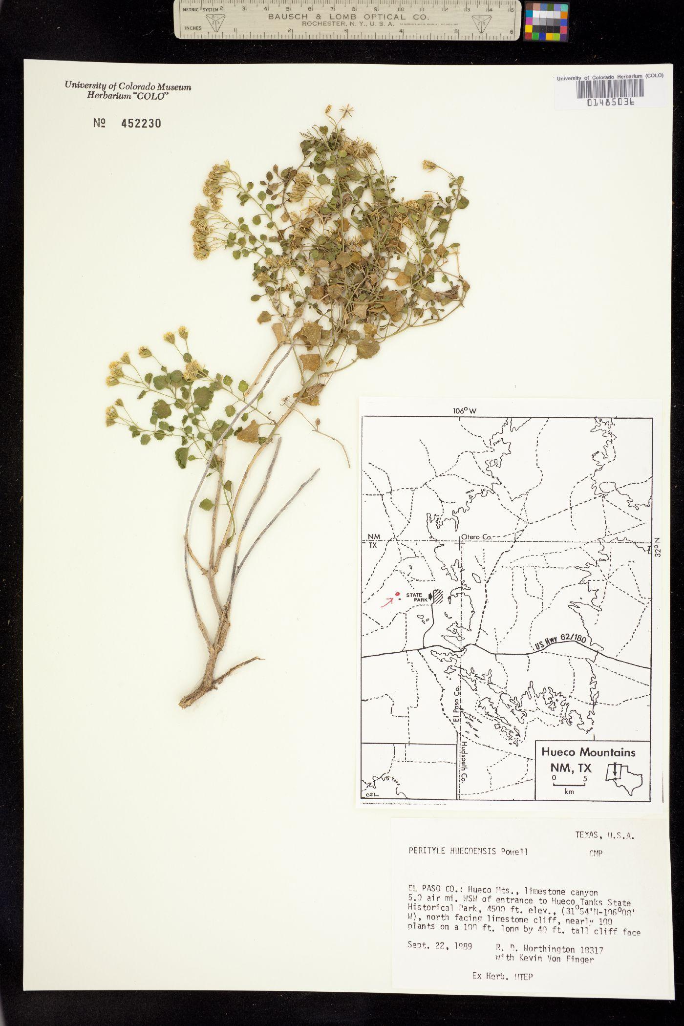 Perityle huecoensis image