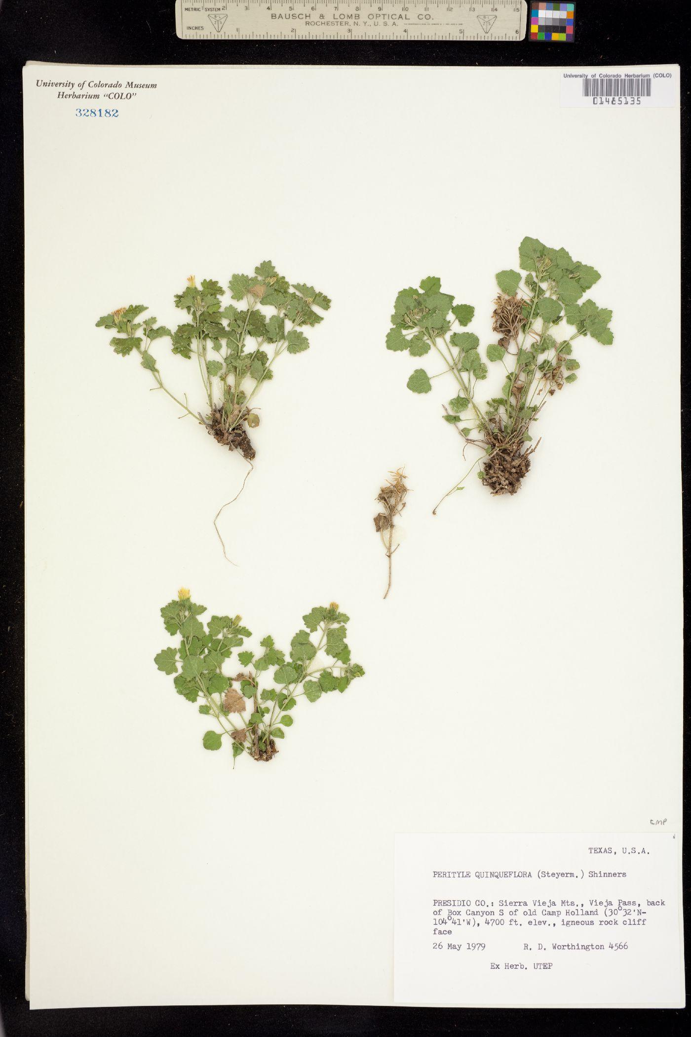 Perityle quinqueflora image