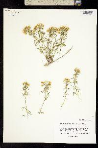 Perityle staurophylla image