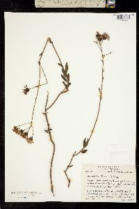 Image of Palafoxia feayi