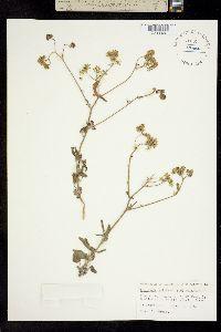 Image of Palafoxia tripteris