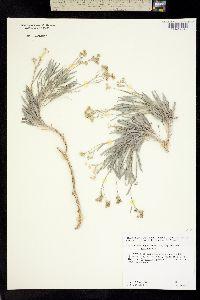 Image of Parthenium argentatum