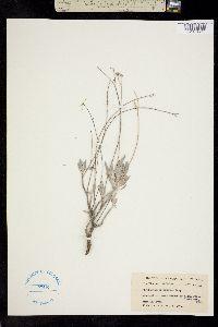 Parthenium argentatum image