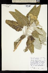 Parthenium tomentosum image