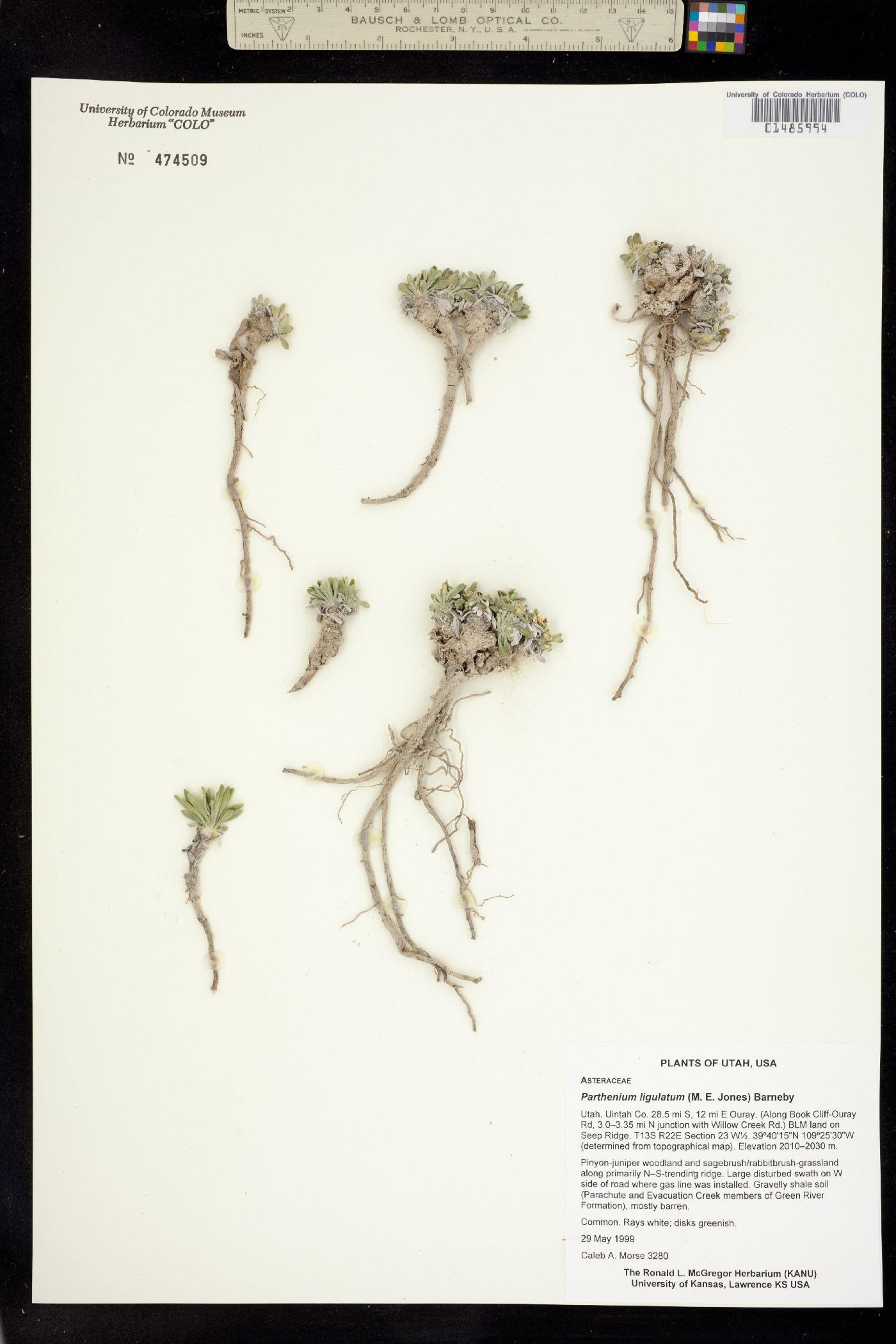 Parthenium ligulatum image