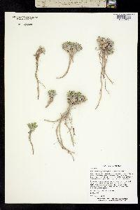 Image of Parthenium ligulatum