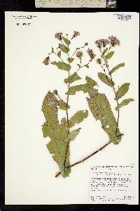 Acourtia patens image