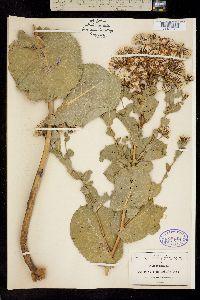 Acourtia platyphylla image