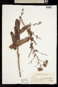 Image of Acourtia microcephala