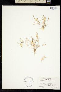 Pentachaeta alsinoides image